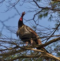 turkey-in-tree