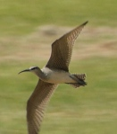whimbrel-FM-lincoln-underwing