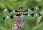 Twelve-spotted-Skimmer